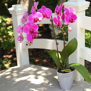 Go-To Tips for Better Summer Orchid Care