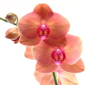 Are Orchid Home Remedies Helpful or Harmful?