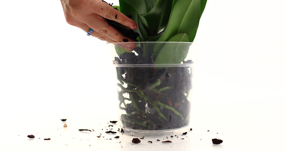 Orchid Roots and Drainage