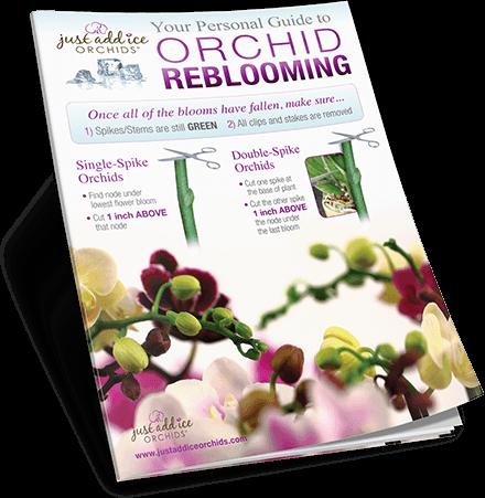 Orchid Reblooming Guide