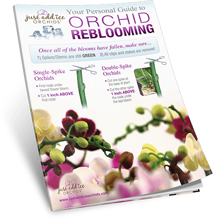 Orchid Reblooming Guide