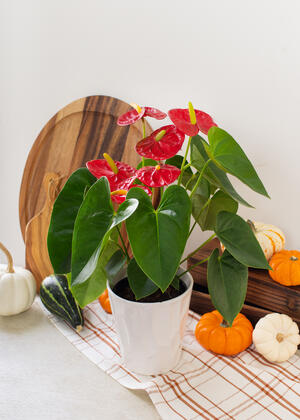 JAI Fall-Anthurium