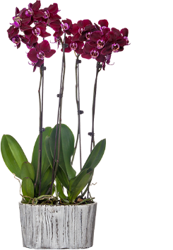 classic orchid planter
