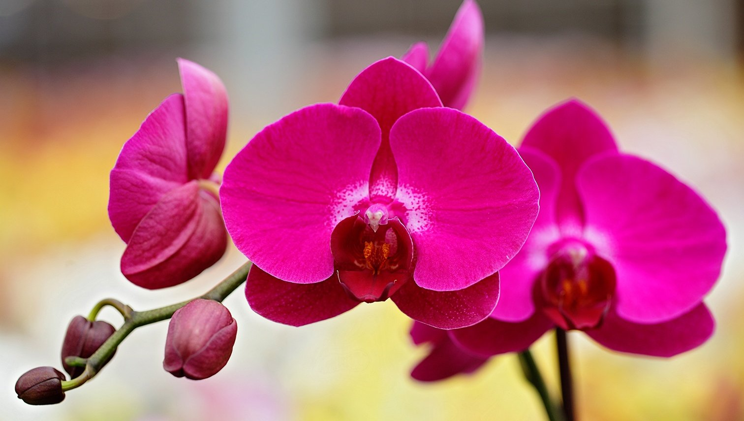 Full Size Phalaenopsis Orchids Just Add Ice Orchids