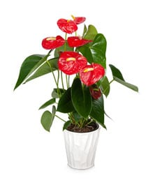 Shop-Anthurium-1