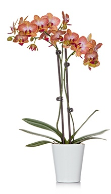 3-Inch Orchid