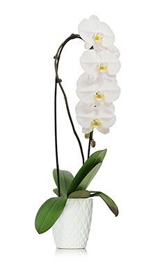 Waterfall Orchid