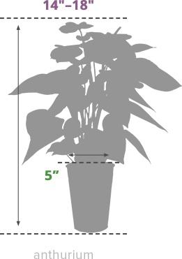Size Guide Anthurium
