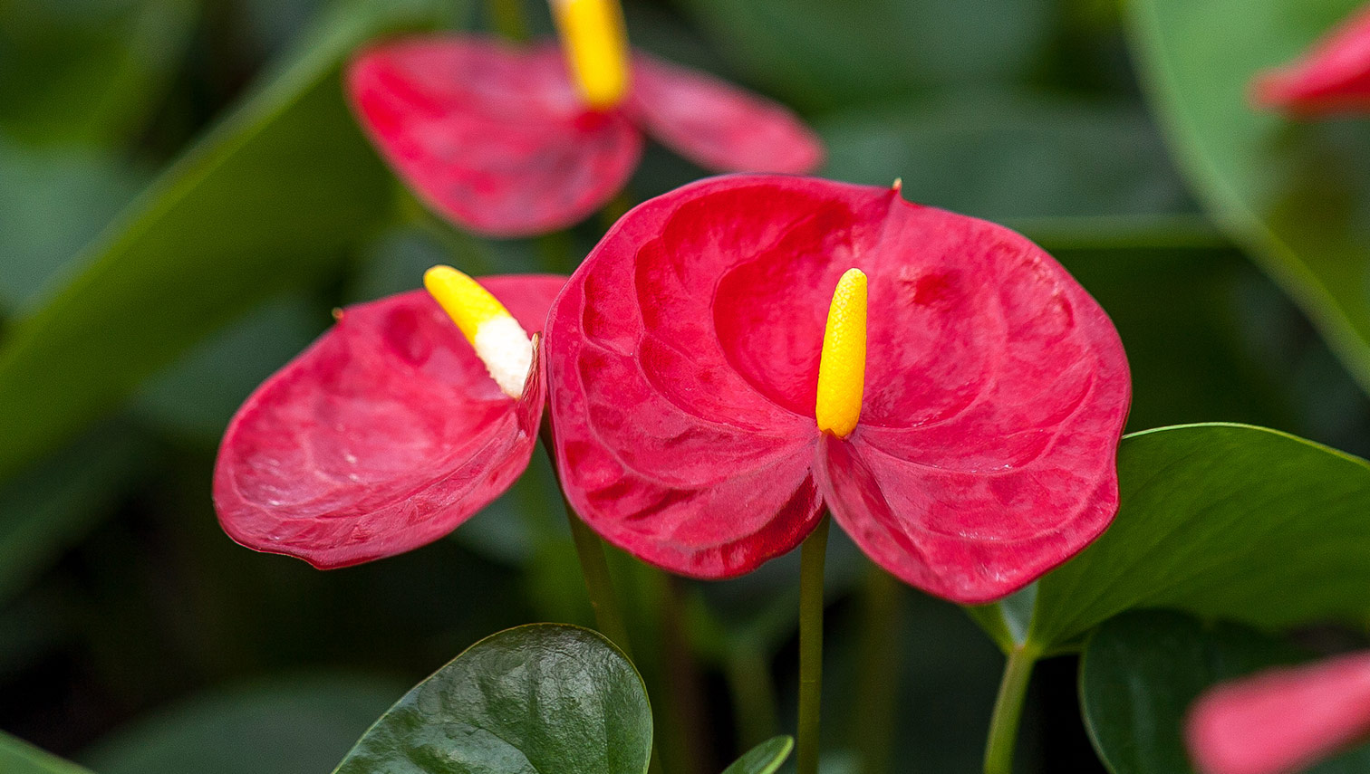 anthurium plants just add ice orchids. Black Bedroom Furniture Sets. Home Design Ideas