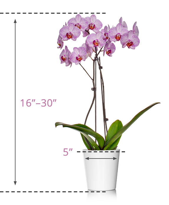 Classic Orchid Size Guide