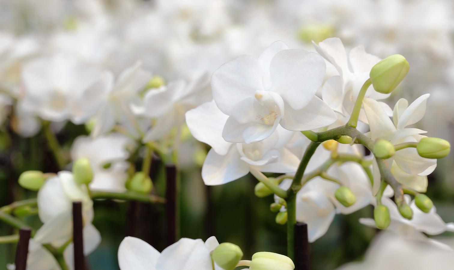coloroption-mini-white
