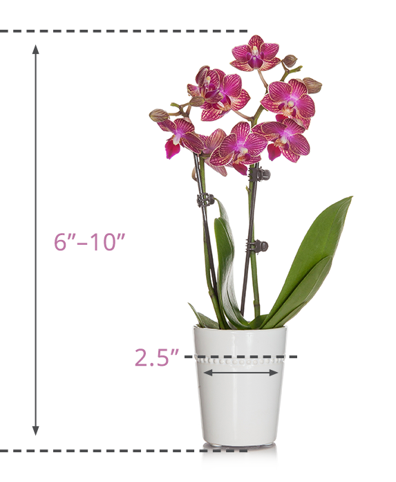 Mini Orchid Size Guide
