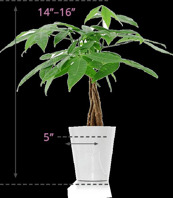 Moneytree-Size