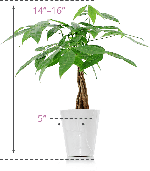 Moneytree-Size