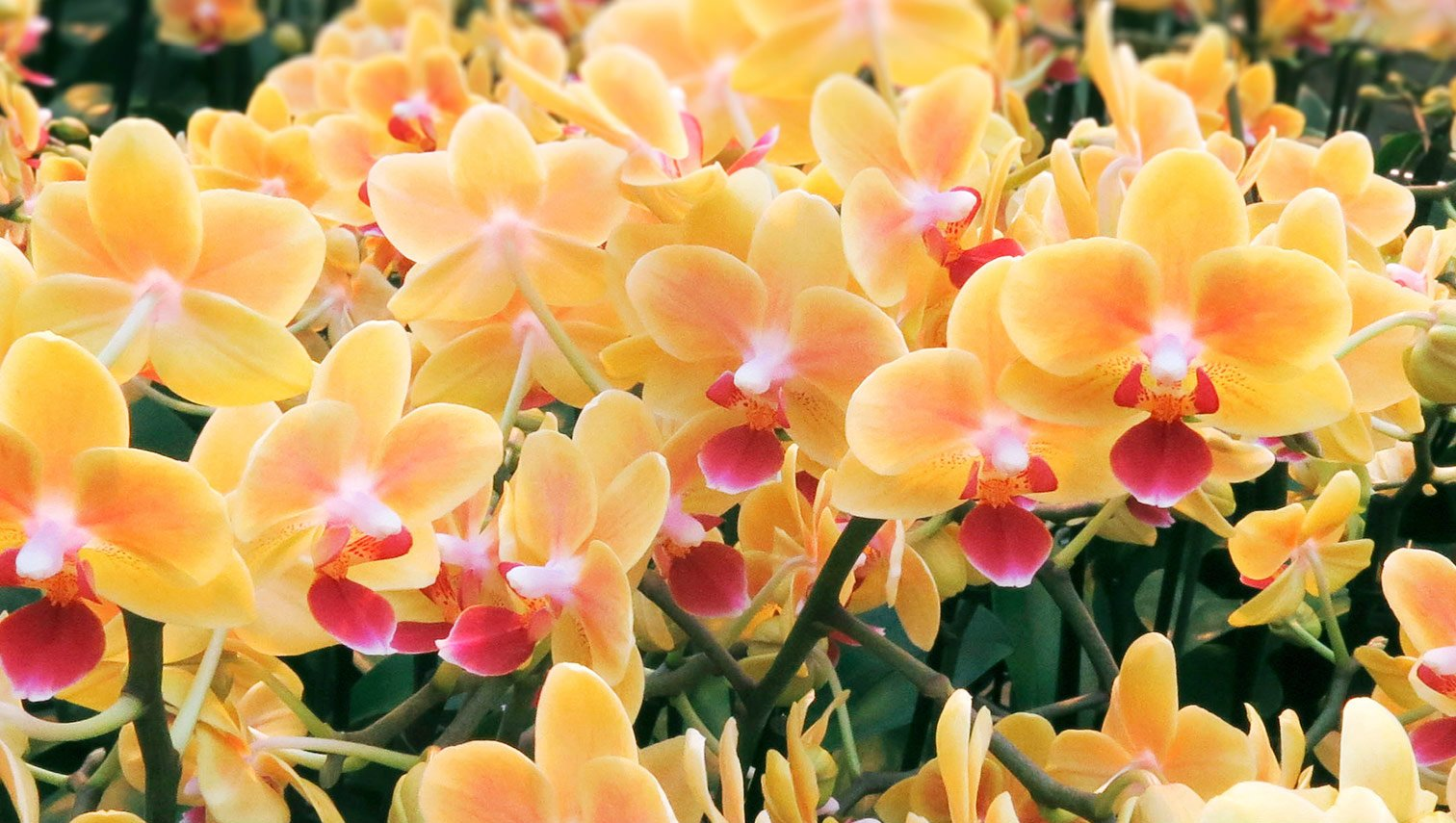 3-inch orchids