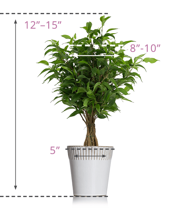 Weeping Fig - Size