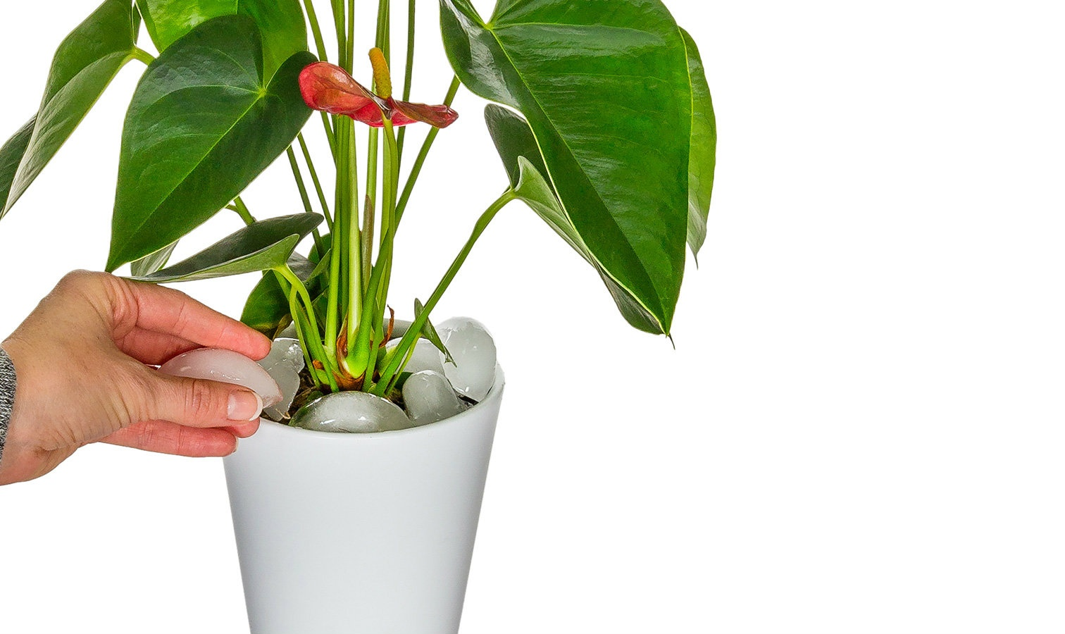 Anthurium Watering