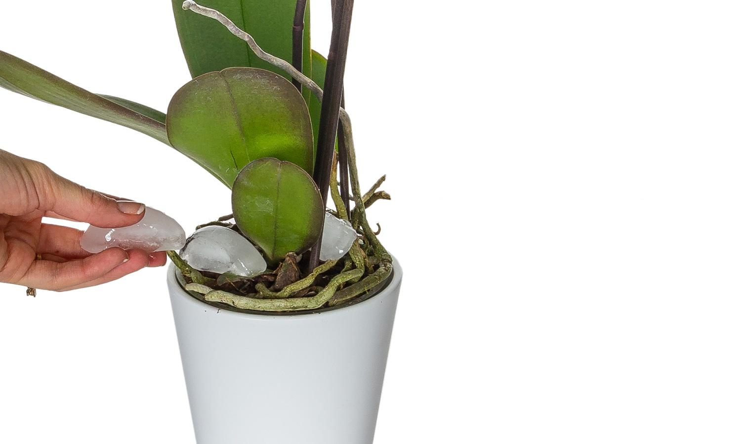 phalaenopsis care instructions