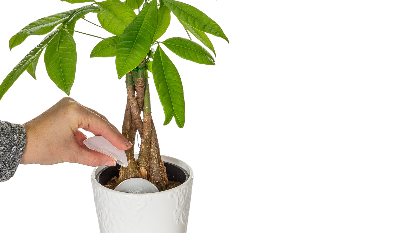 Money Tree Watering