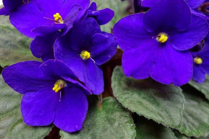 African_violet.jpg