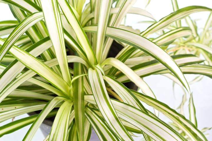 Spider_plant.jpg