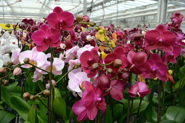 orchid-blooms