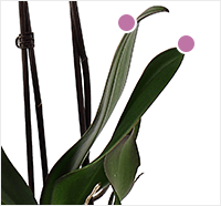 orchid leaves