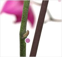 orchid node