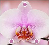 orchid sepal