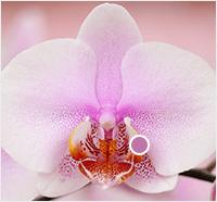 orchid throat