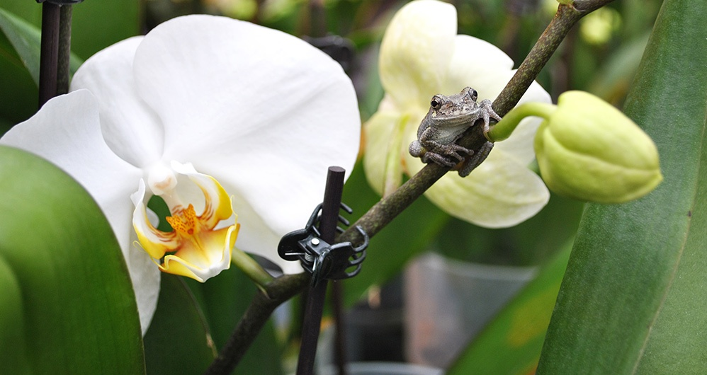 Frog on Orchid