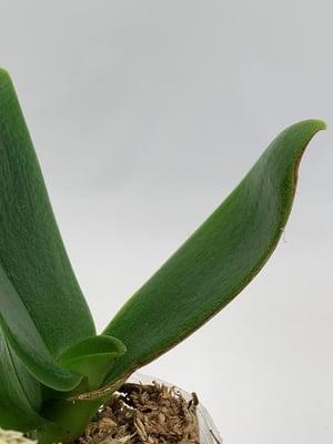 cinnamon-orchid-remedy-1