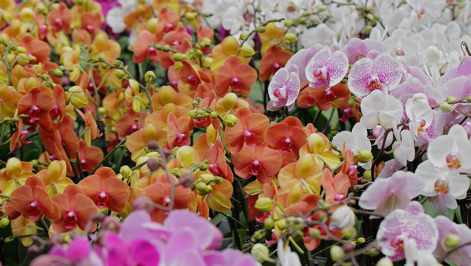 Different colored orchids