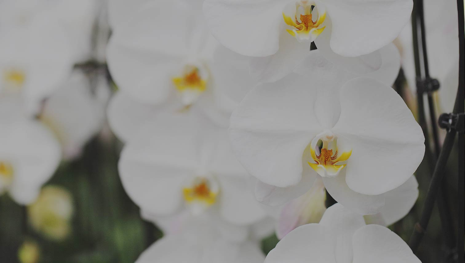 White Waterfall Orchid