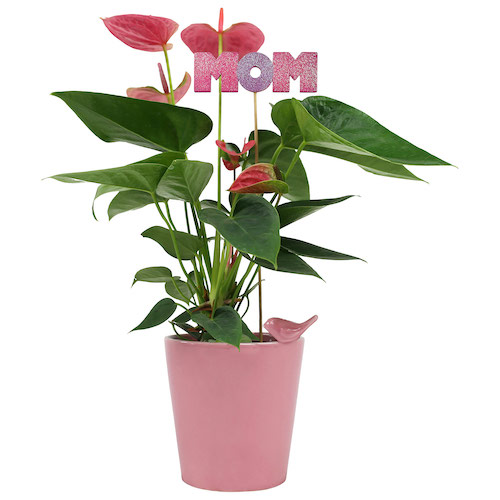 mothers-day-anthurium