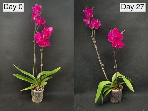 orchid-comparrison-hydrogen-peroxide-experiment