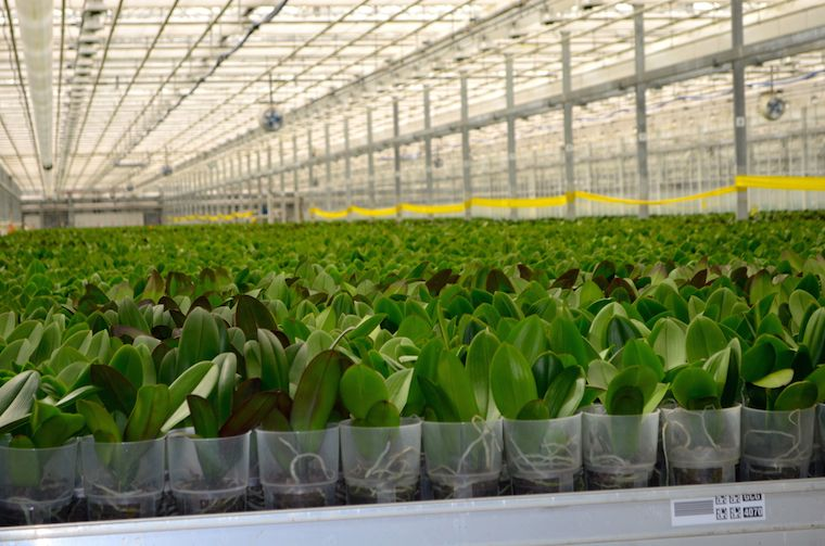 orchid-lifecycle-greenhouse