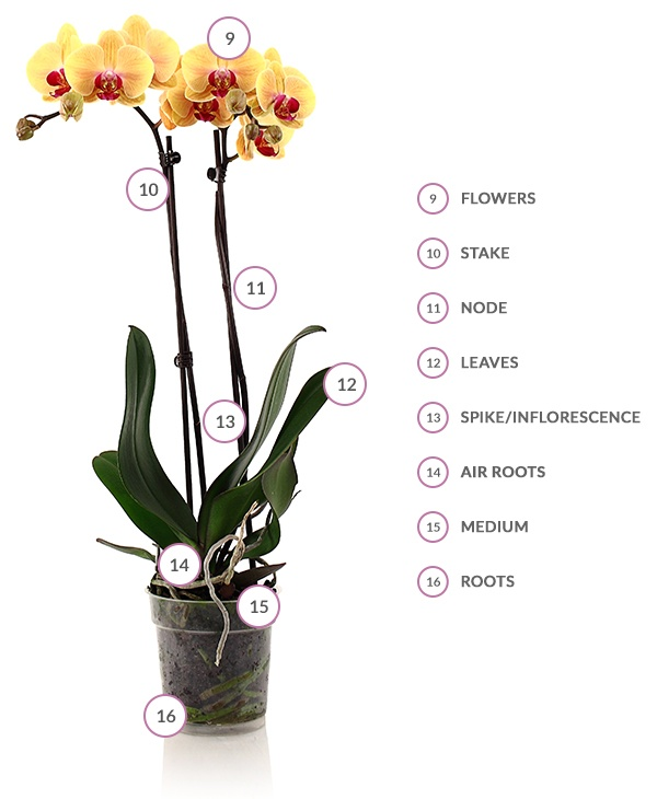 Phalaenopsis Orchid Health and Anatomy | Just Add Ice Orchids on grape plant name, pink hydrangea plant name, christmas red plant name, heroin plant name,