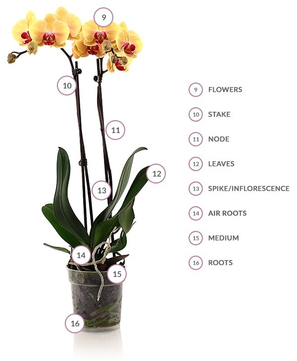 Phalaenopsis Orchid Health And Anatomy Just Add Ice Orchids