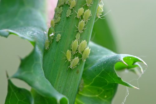 orchid-pests-aphids