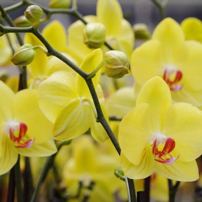 orchid-reblooming