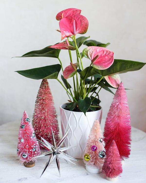 pink-holiday-anthurium