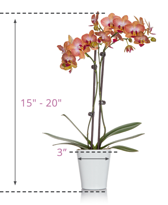 3 inch Orchid