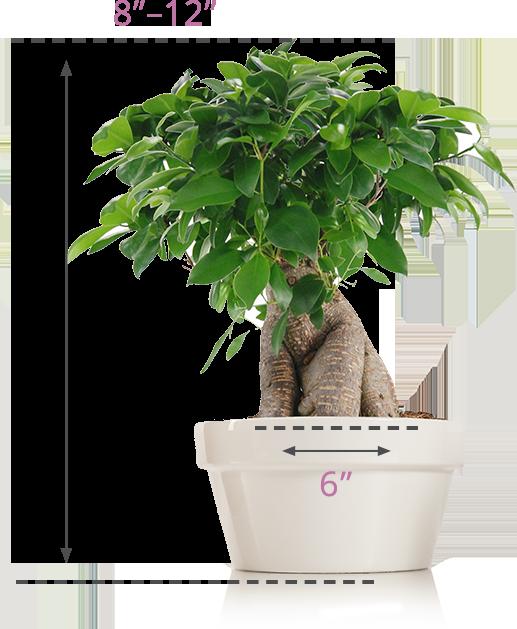 size-img-bonsai-1-1