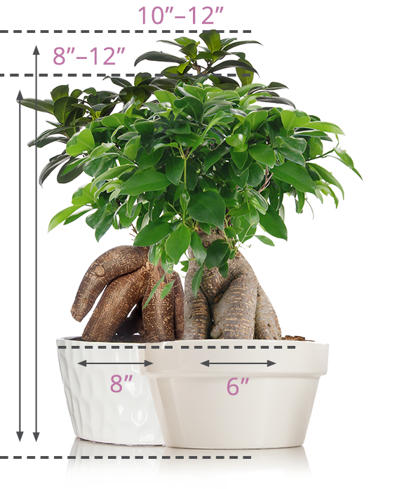 Bonsai Size Guide