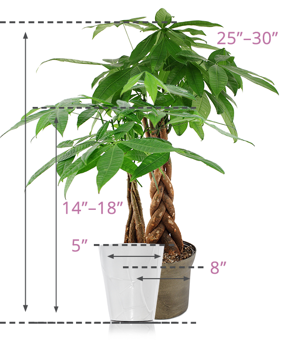 size-img-moneytree-plant.png
