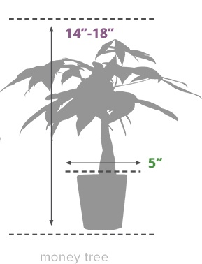 Size Guide Money Tree