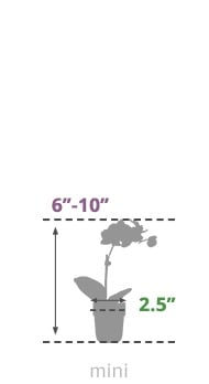 Size Guide Mini Orchid