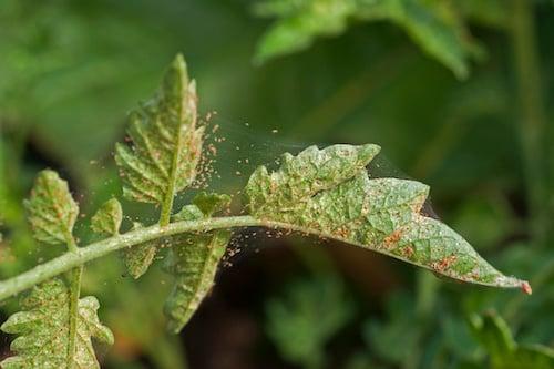 spider-mites-orchid-pests