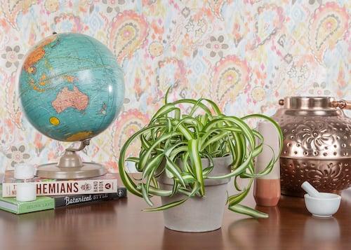 spider-plant-pet-friendly